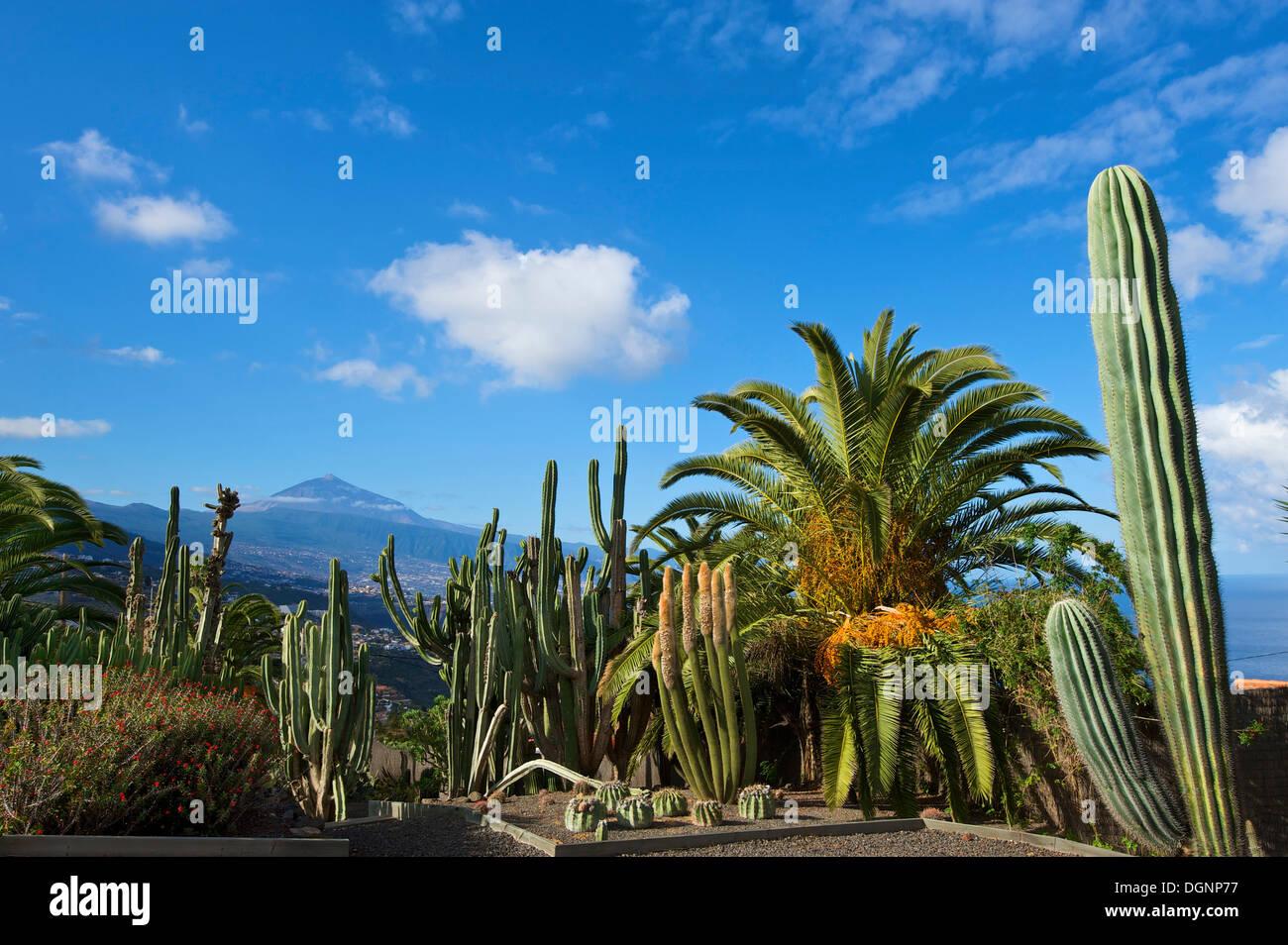 Kakteengarten in El Sauzal mit Blick auf den Teide Vulkan, Teneriffa, Kanarische Inseln, Spanien, Europa Stockbild