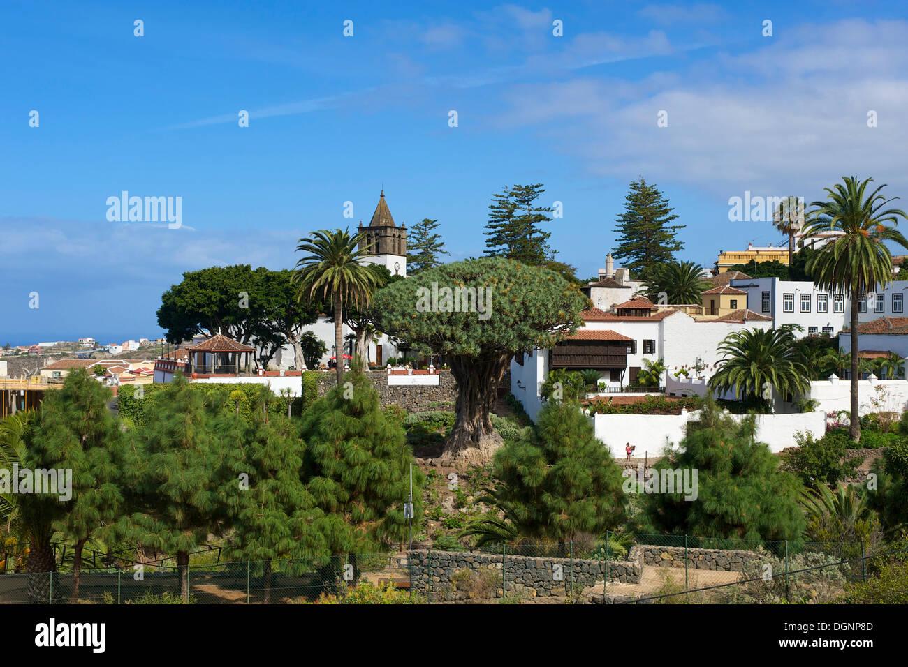 Drachenbaum in Icod, Teneriffa, Kanarische Inseln, Spanien, Europa Stockbild