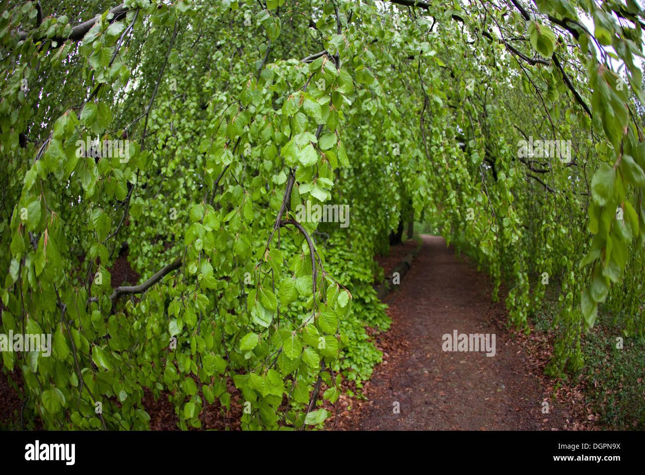 large beech tree stockfotos large beech tree bilder alamy. Black Bedroom Furniture Sets. Home Design Ideas