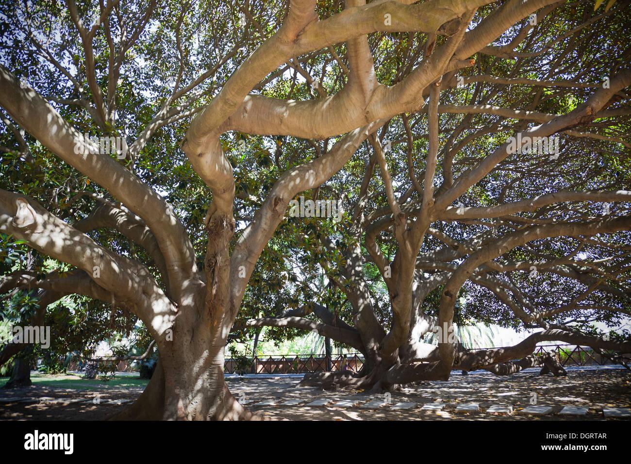 ficus trees stockfotos ficus trees bilder alamy. Black Bedroom Furniture Sets. Home Design Ideas