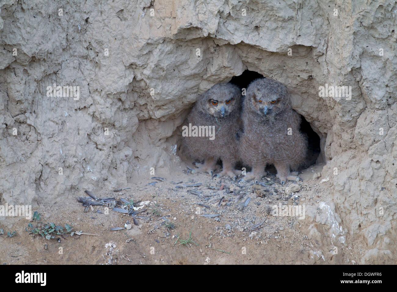 Uhu (Bubo Bubo), Küken in ihren Nährboden in einem Schlamm Wand Nord Bulgarien, Bulgarien Stockbild