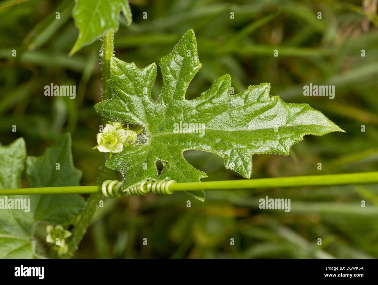 Weiße Zaunrübe, Bryonia Dioica mit Blume, Blatt und Ranke. Stockbild