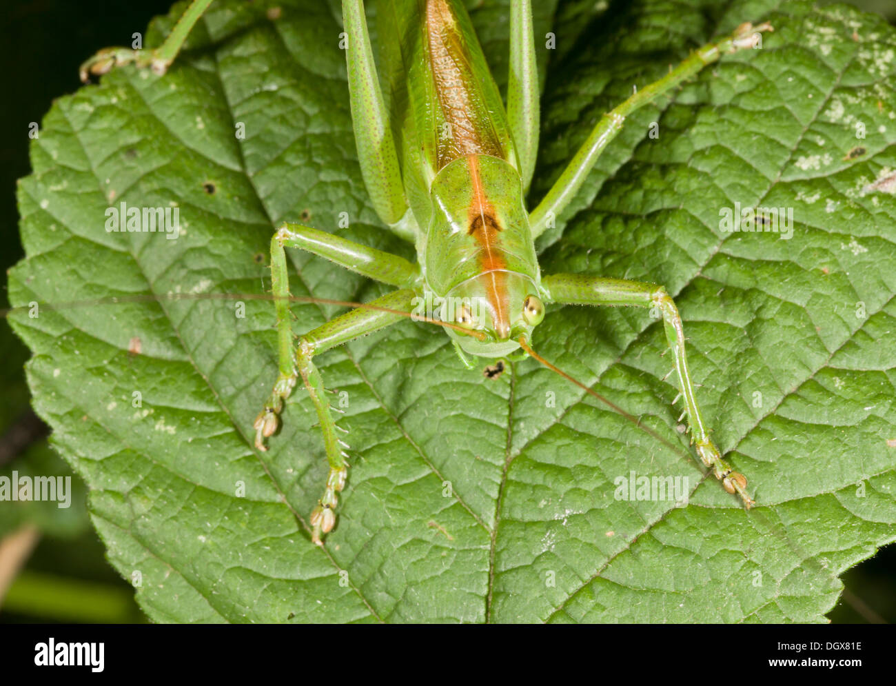 Weiblichen großen grünen Bush-Cricket, Tettigonia viridissima Stockbild