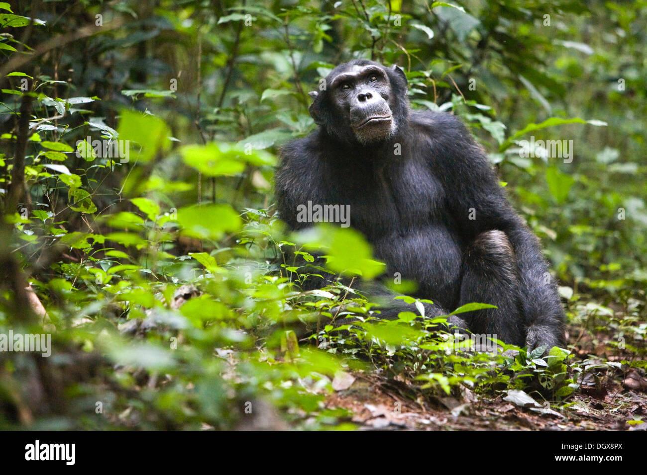 Forschung über Tierkommunikation mit einer habituierten Schimpansen, gemeinsame Schimpanse (Pan Troglodytes), Stockbild