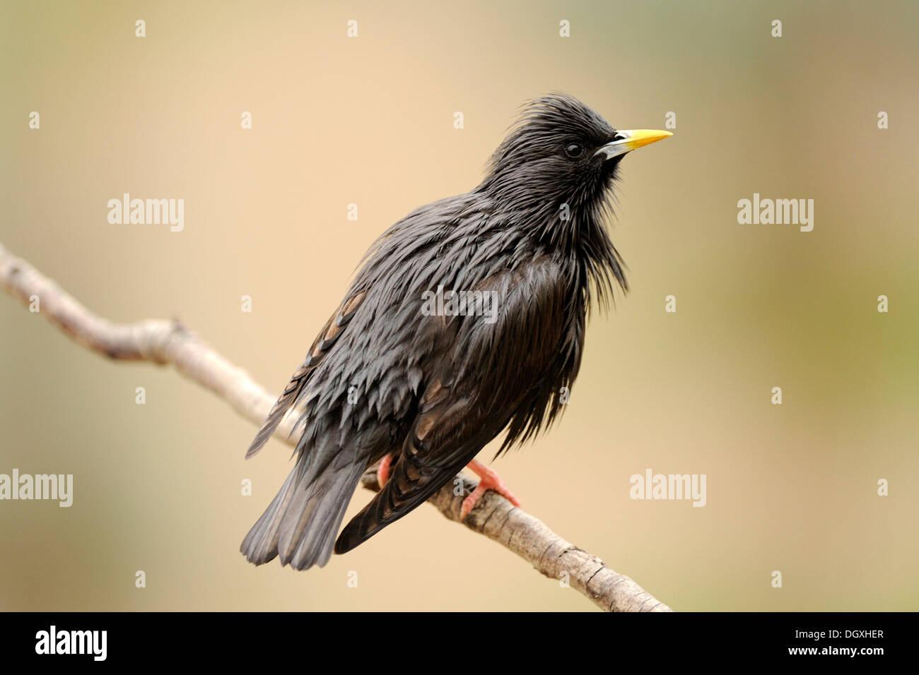 Makellos Starling (Sturnus unicolor), thront auf Zweig Stockbild