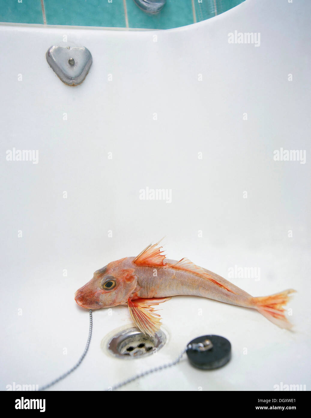 Sea Robin oder Knurrhahn mit einem gezogenen Stecker in eine leere Badewanne Stockbild