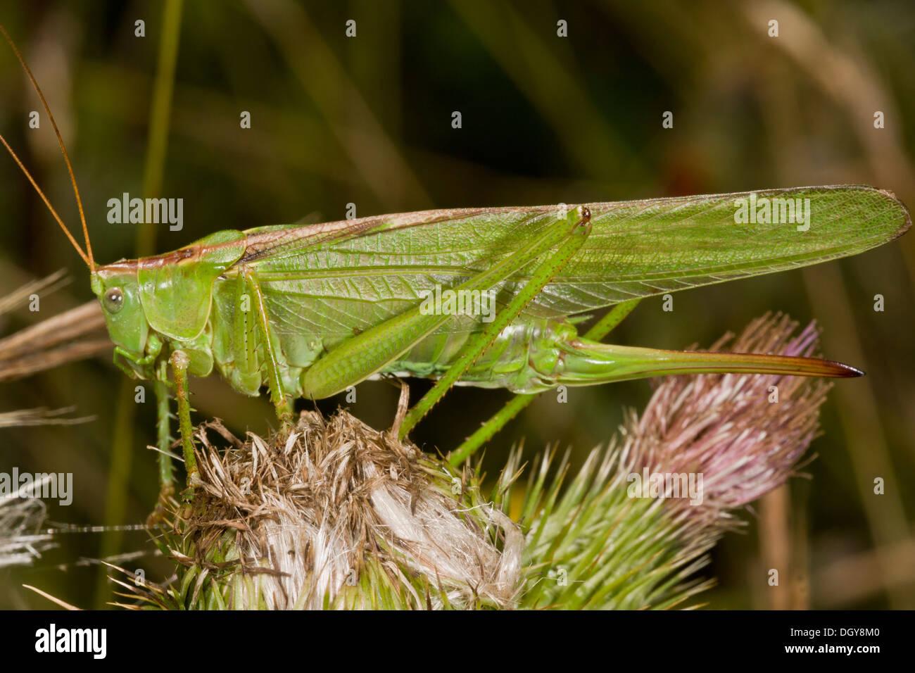 Weibliche Great Green Bush-Cricket, Tettigonia Viridissima, langen Legebohrer zeigt. Stockbild