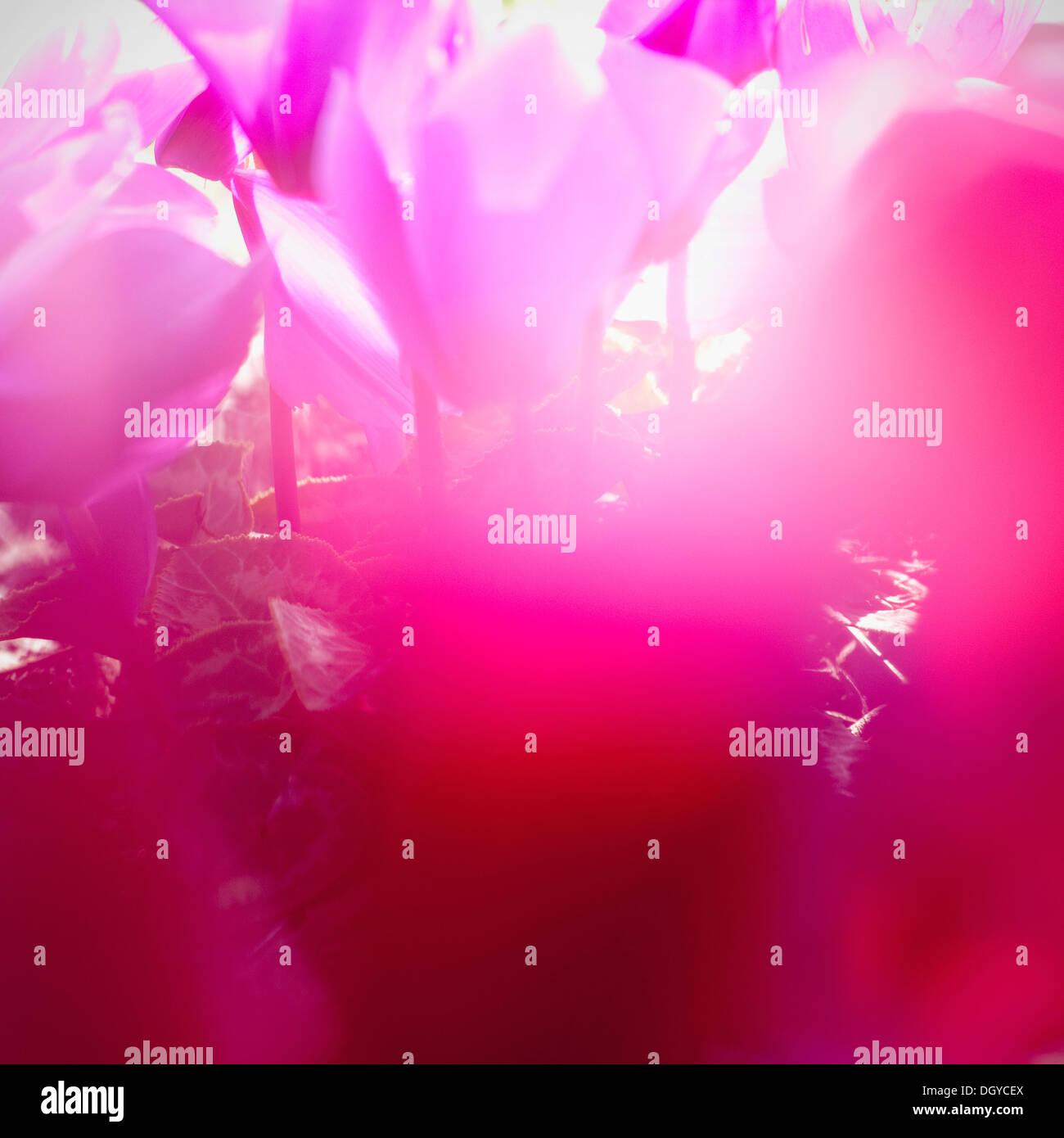 Lebendige Magenta Cyclamen in voller Blüte, Weichzeichner, Nahaufnahme Stockbild
