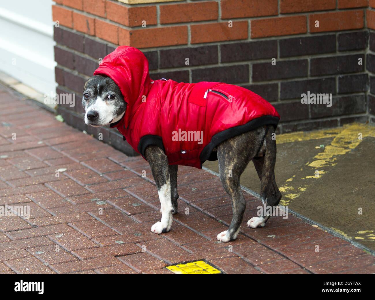 Southend on Sea, Essex, England. 28. Oktober 2013.  7,59 bin Hund in einen Regenmantel, Southend-on-sea High Street der Sturm, genannt St. Jude, brachte das windigste Wetter Großbritannien seit 1987 getroffen. Bildnachweis: Graham Whitby Boot/Alamy Live News Stockbild
