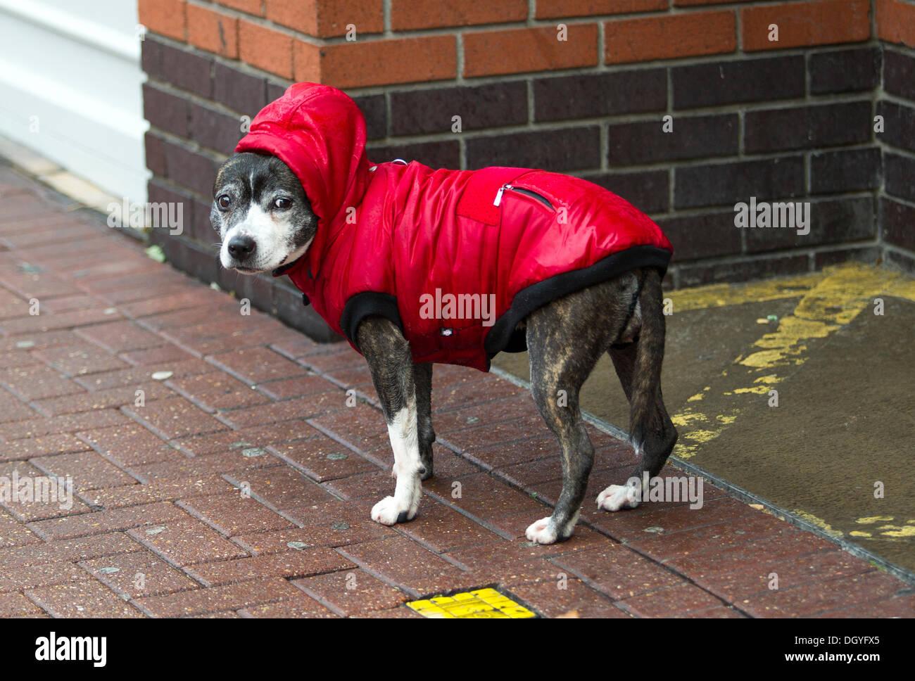 28.10.2013 7,59 bin Hund in einen Regenmantel, Southend-on-sea High Street Stockbild