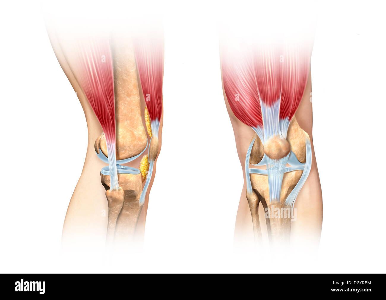 Menschlichen Knie Cutaway Abbildung. Seiten- und Vorderansicht ...