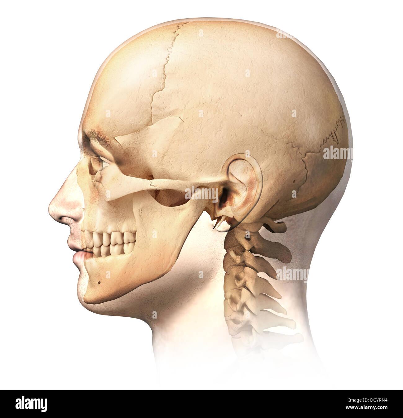 Menschlichen Männerkopf mit Schädel im Ghost-Effekt, Seitenansicht ...