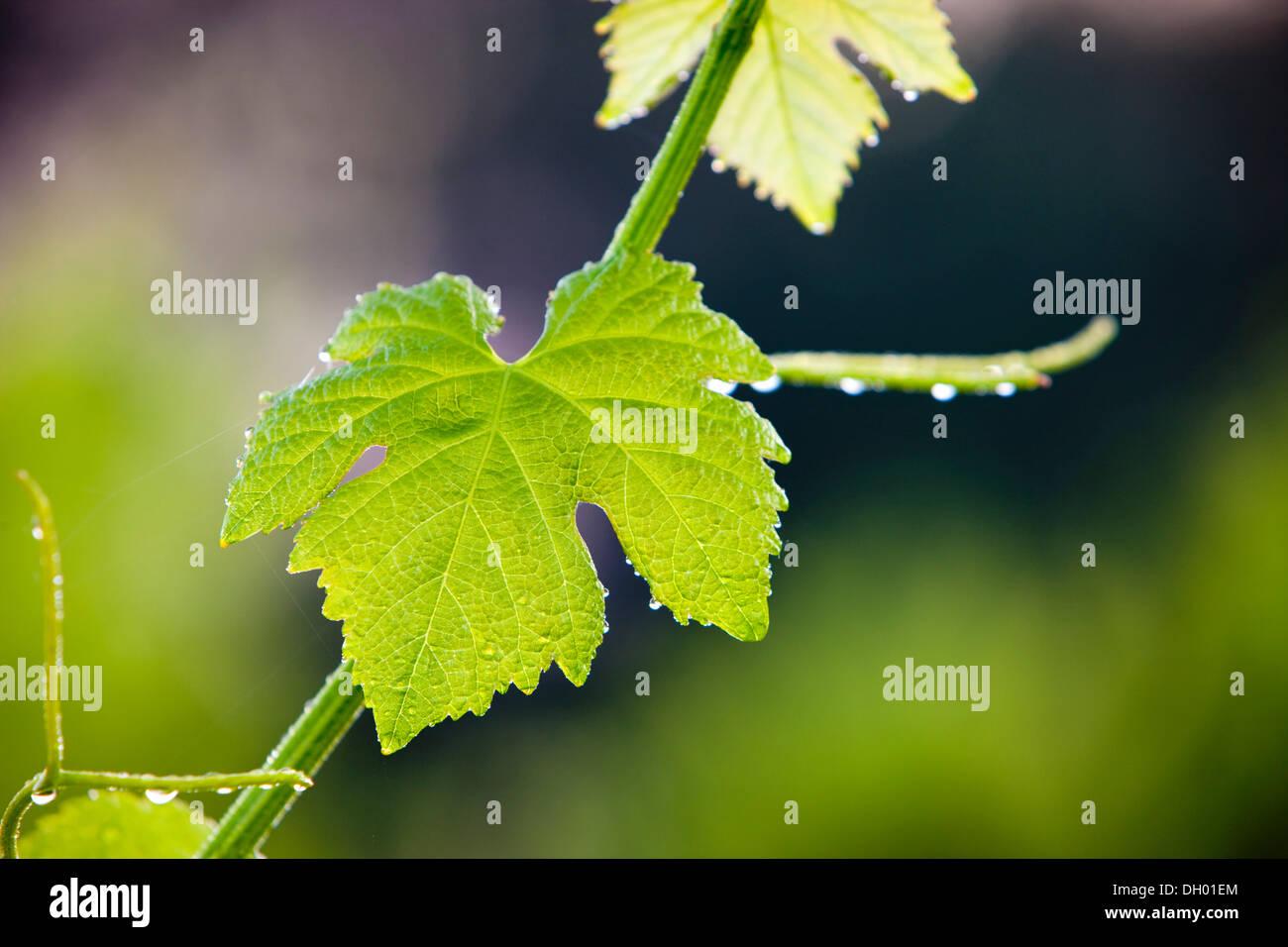 Gemeinsame Weintraube Weinrebe (Vitis Vinifera), Bindfäden und Blatt, Alpes-de-Haute-Provence, Frankreich Stockbild