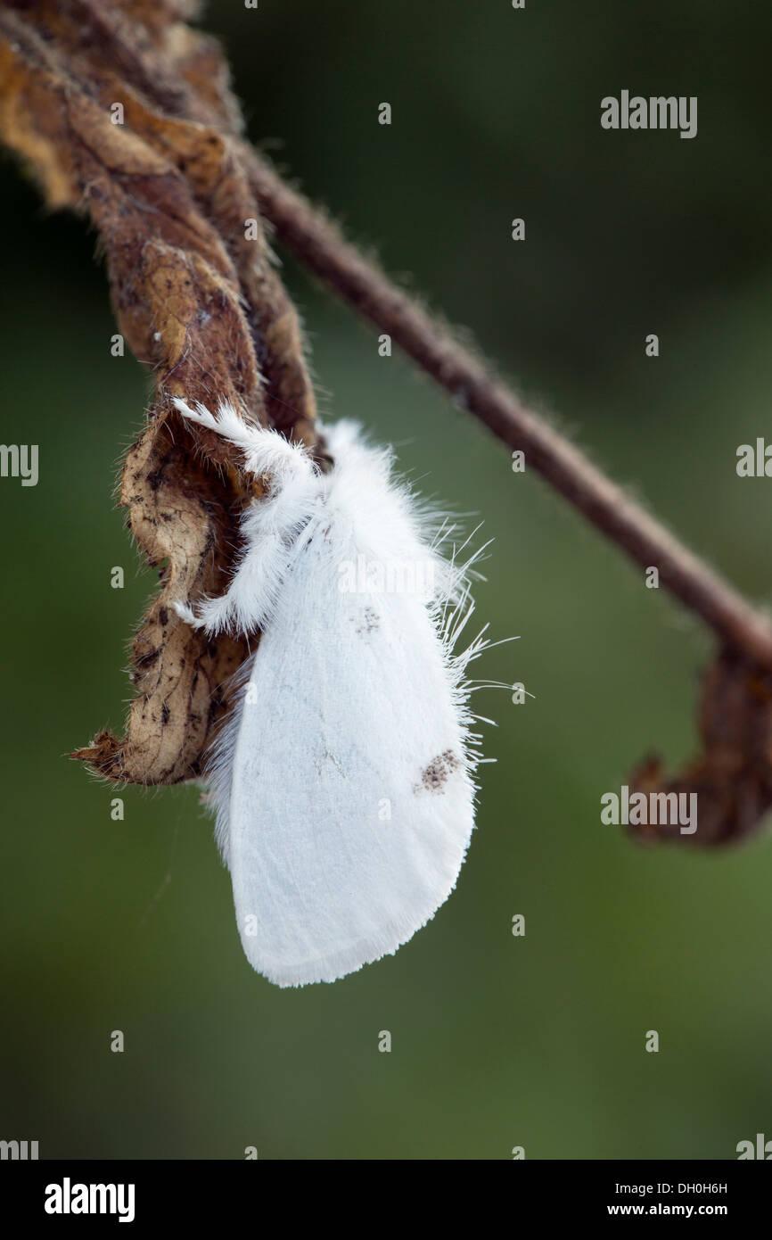 Gelb-Tail Motte; Euproctis Similis; UK Stockbild