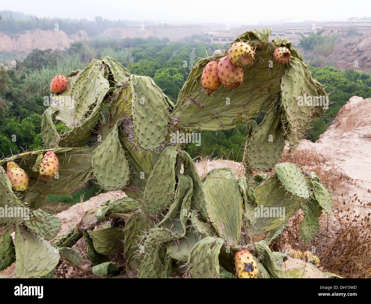 Einen Ausschnitt aus einem Feigenkaktus Pflanze leiden Mangel an Wasser stark senkte Kladodien und welke Frucht Marokko Stockbild