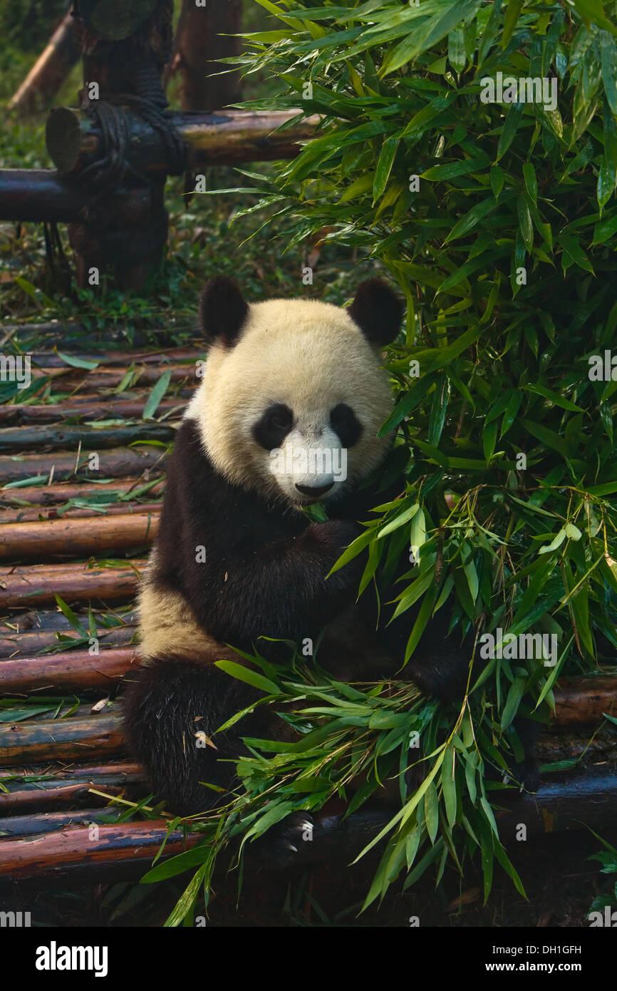 Junge Pandabar Bambus In Chengdu Panda Aufzuchtzentrum Sichuan China