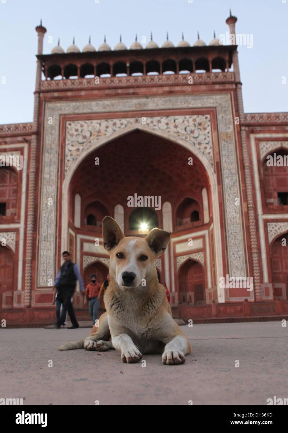 Hund vor dem Eingang zu den Taj Mahal, Agra, Uttar Pradesh, Indien, Asien Stockbild