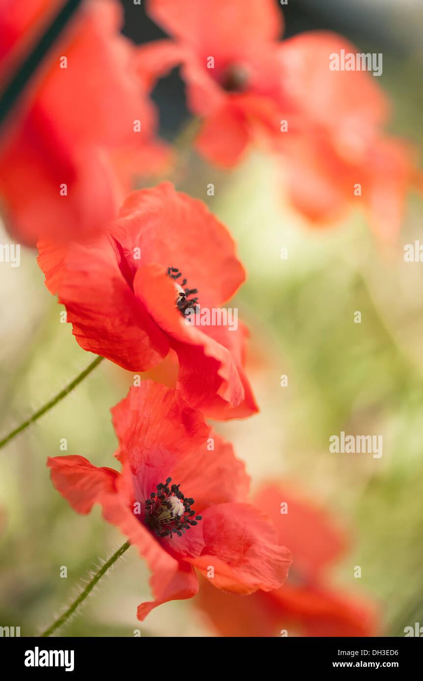 Red Black Poppy Flowers Vertical Stockfotos Red Black Poppy
