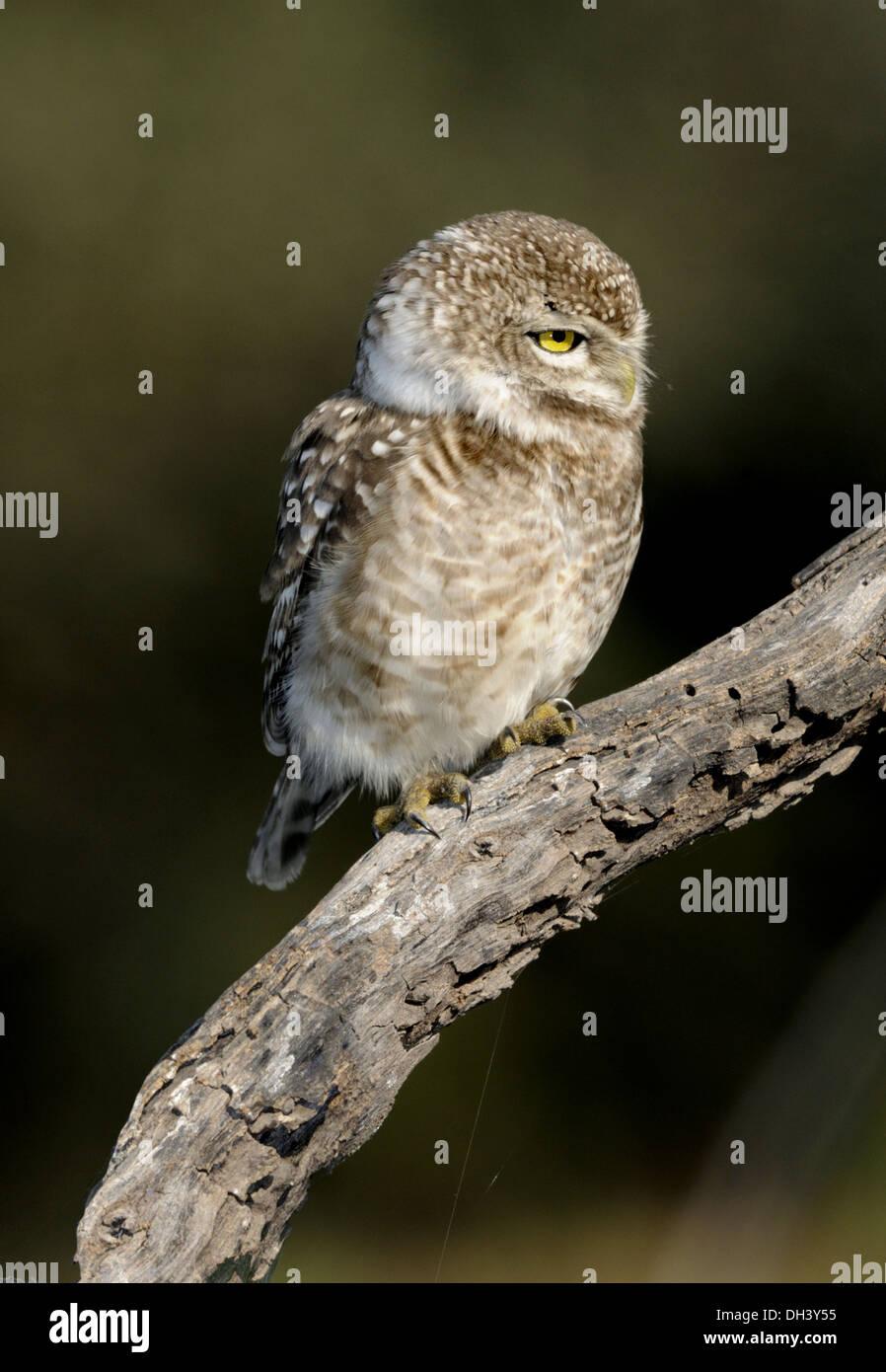 Gefleckte Owlet - Athene brama Stockbild