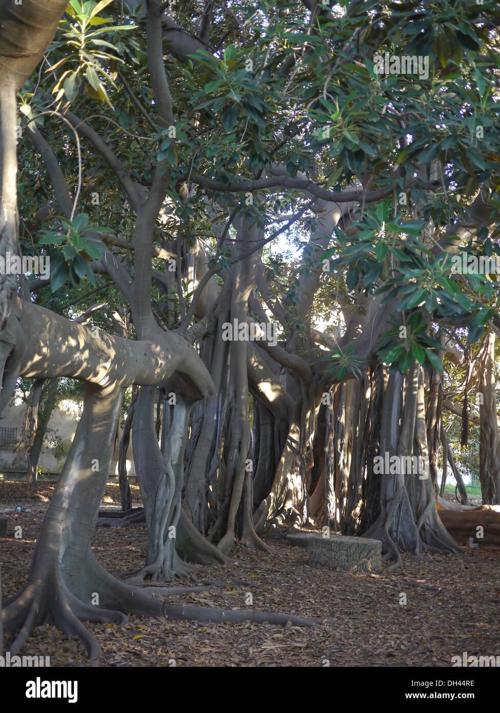 Botanischer Garten Italien Gardasee: Wurzeln Des Ficus Macrophylla Baum Palermo Botanischer