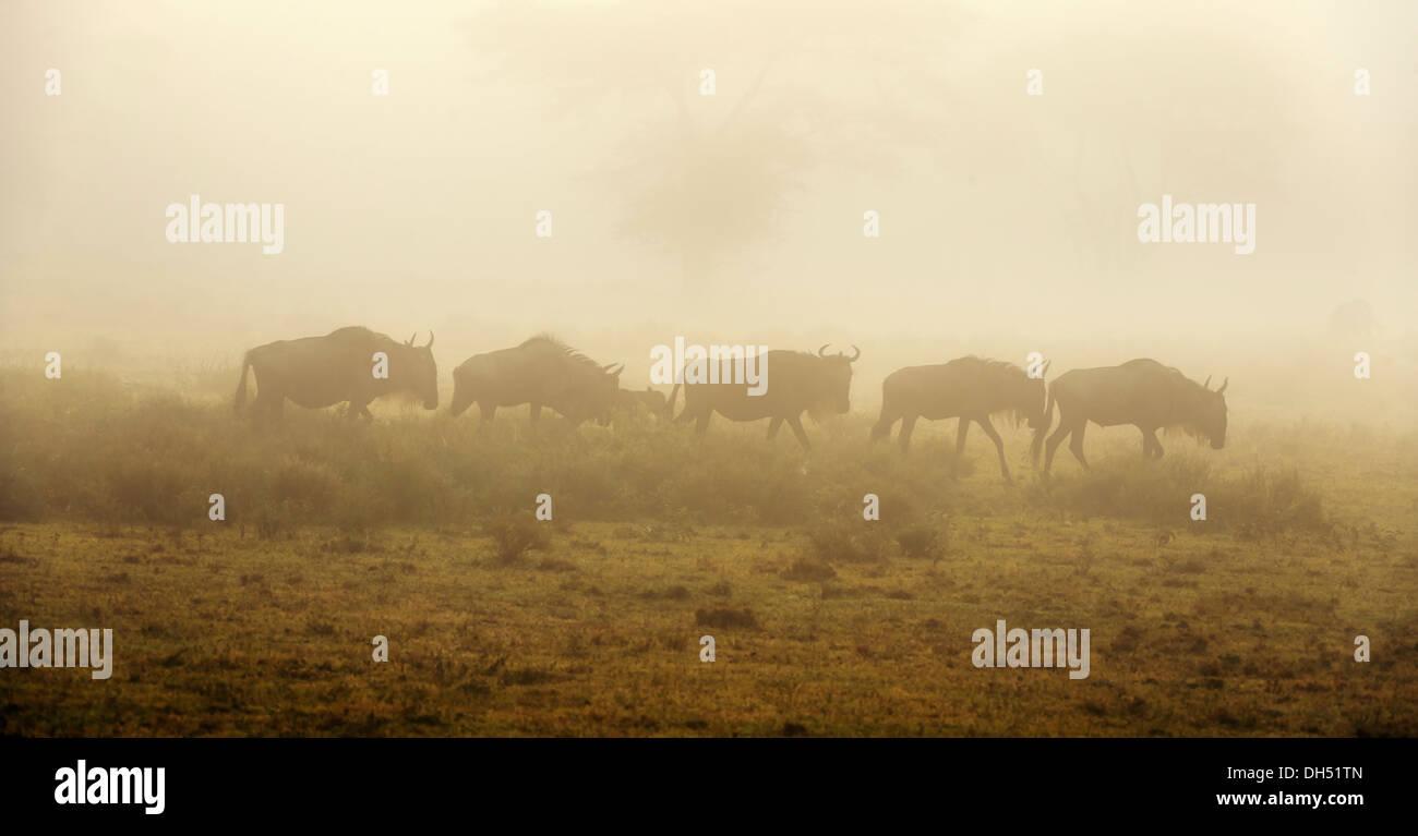 Gnus (Connochaetes Taurinus) im Morgennebel, Serengeti, Tansania Stockfoto