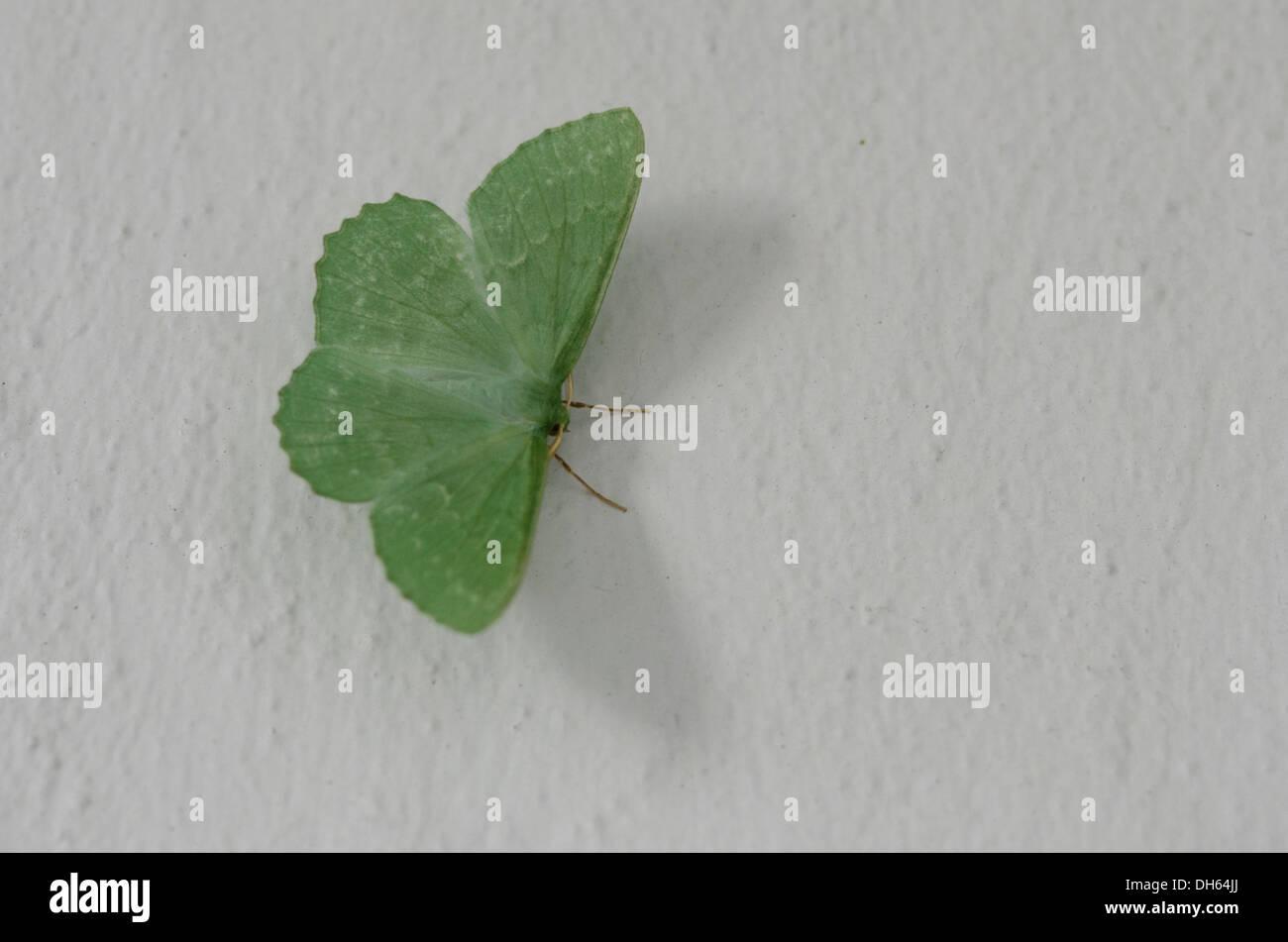 Großer Smaragd Motte [Geometra Papilionaria] auf weiß gestrichenen Wand, Sussex, UK. Juli Stockbild