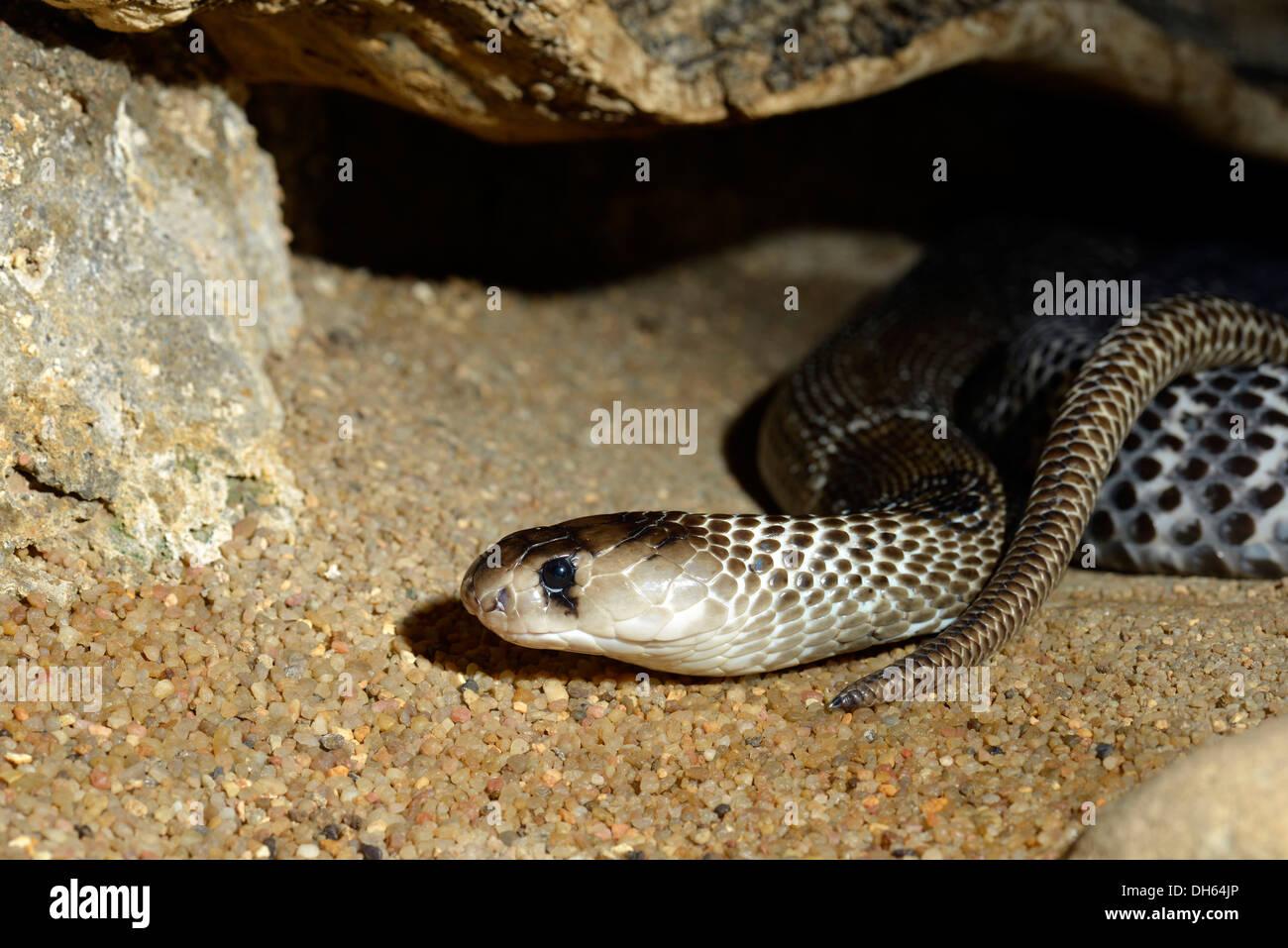 Giftige indischen Kobra (Naja Naja Naja), ursprünglich aus Indien, Indonesien und den Philippinen, Stuttgart, Baden Stockfoto