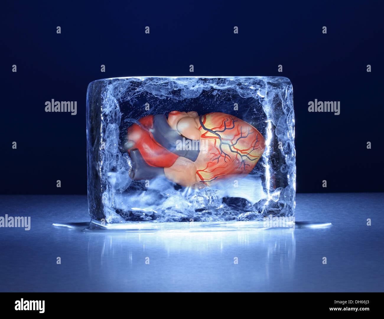 Ein Modell des menschlichen Herzens in einem klaren Eisblock eingefroren Stockbild