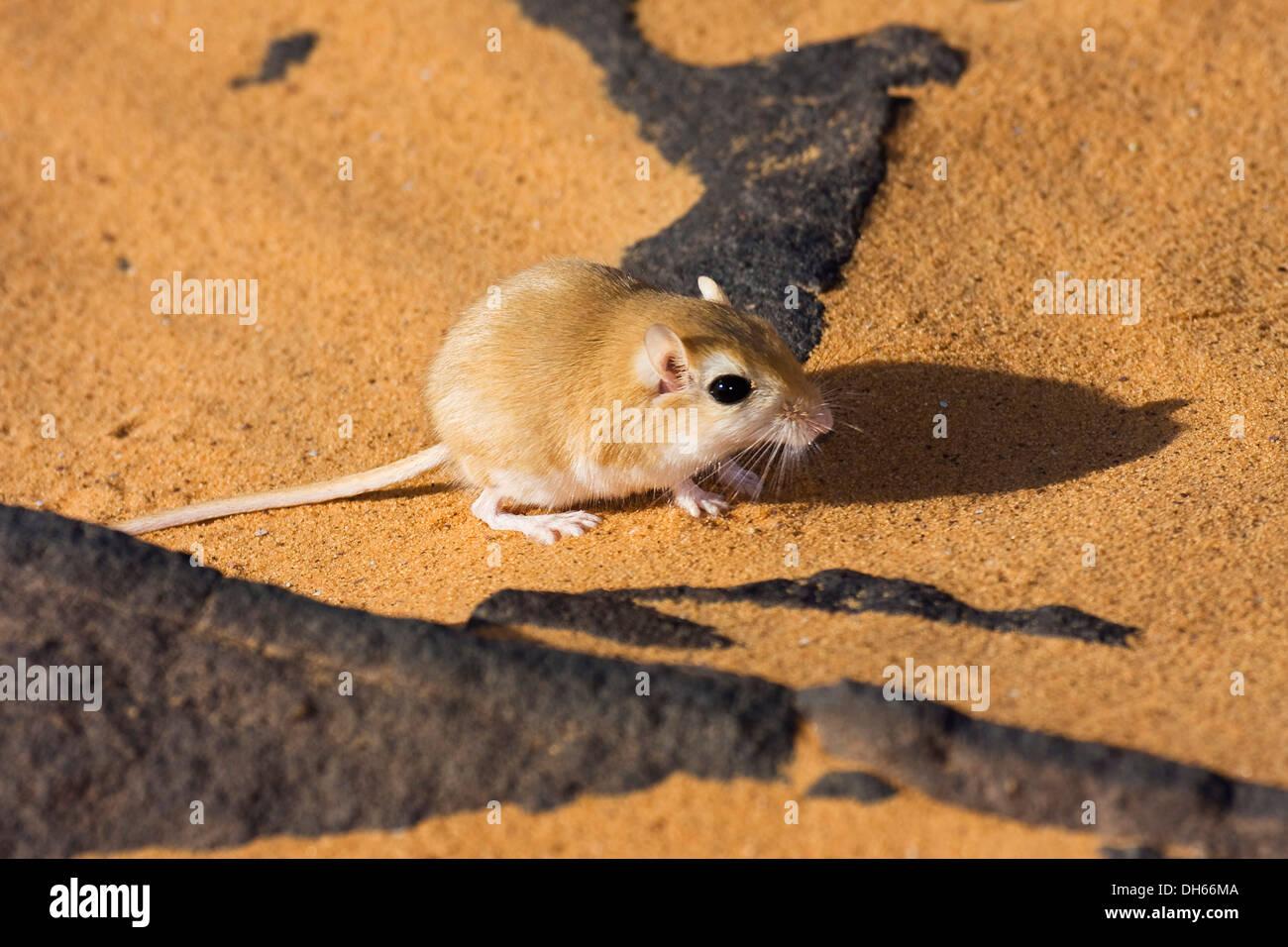 Wüstenrennmaus (Meriones SP.), Libyen, Sahara, Nordafrika, Afrika Stockbild