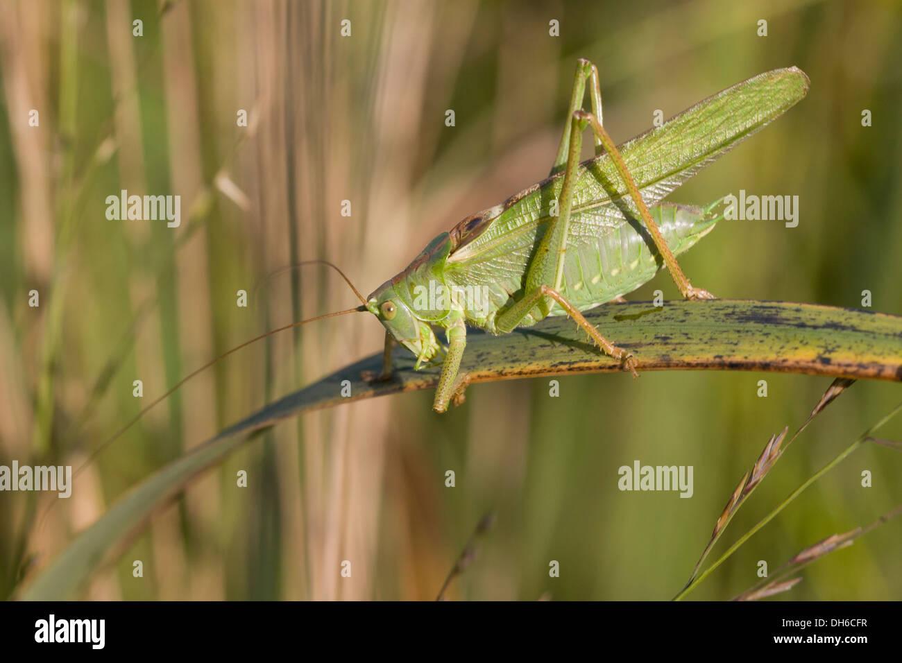 Große grüne Bush-Cricket - Tettigonia Viridissima. Männlich Stockbild