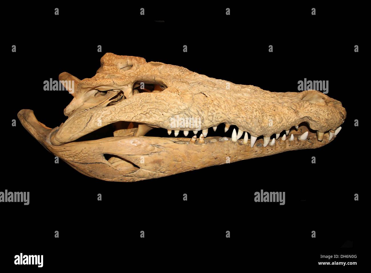Crocodile Bones Stockfotos & Crocodile Bones Bilder - Alamy