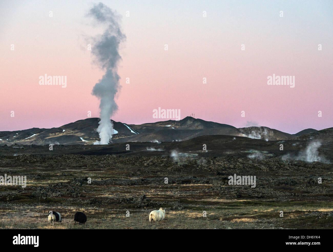 Isländische Schafe und Mudpot oder Schlamm-Pool Nordisland Stockbild