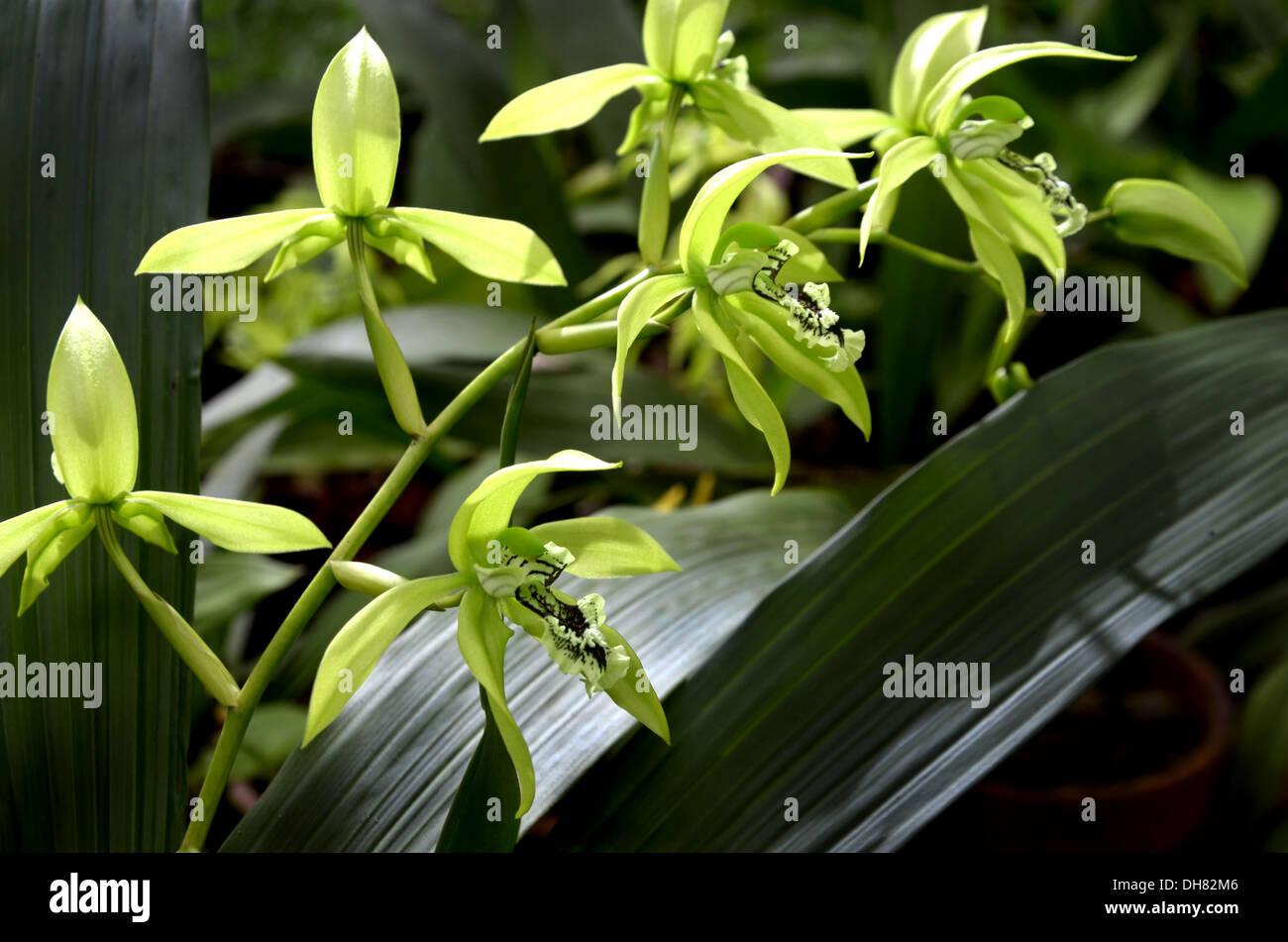 schwarze orchidee aus borneo stockfoto bild 62258006 alamy. Black Bedroom Furniture Sets. Home Design Ideas