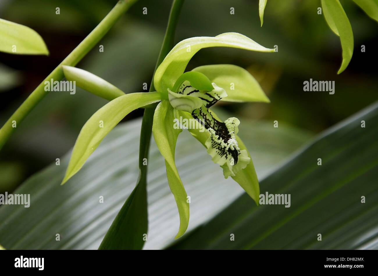 schwarze orchidee aus borneo stockfoto bild 62258026 alamy. Black Bedroom Furniture Sets. Home Design Ideas