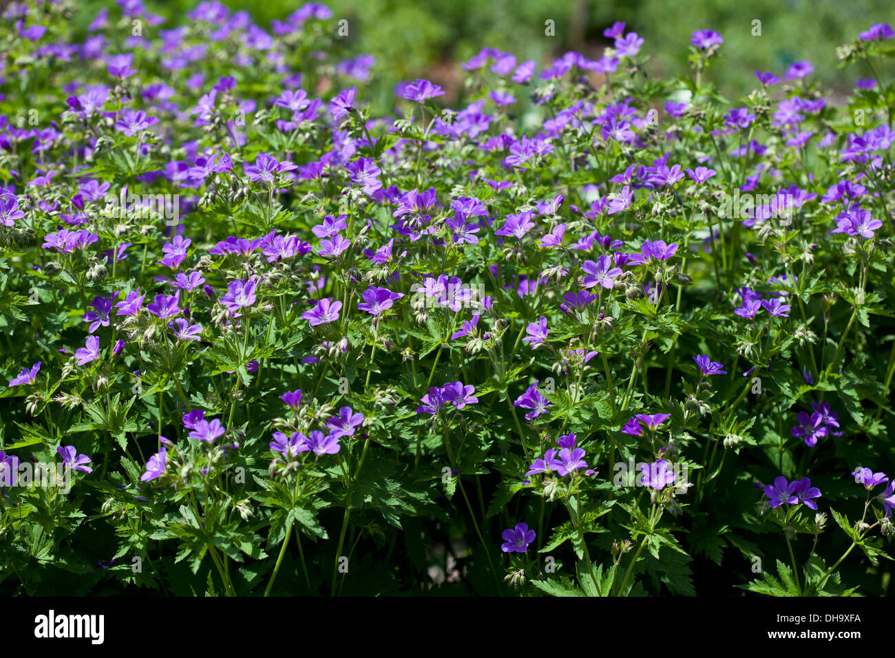 Geranium Sylvaticum 'Mayflower' Stockbild