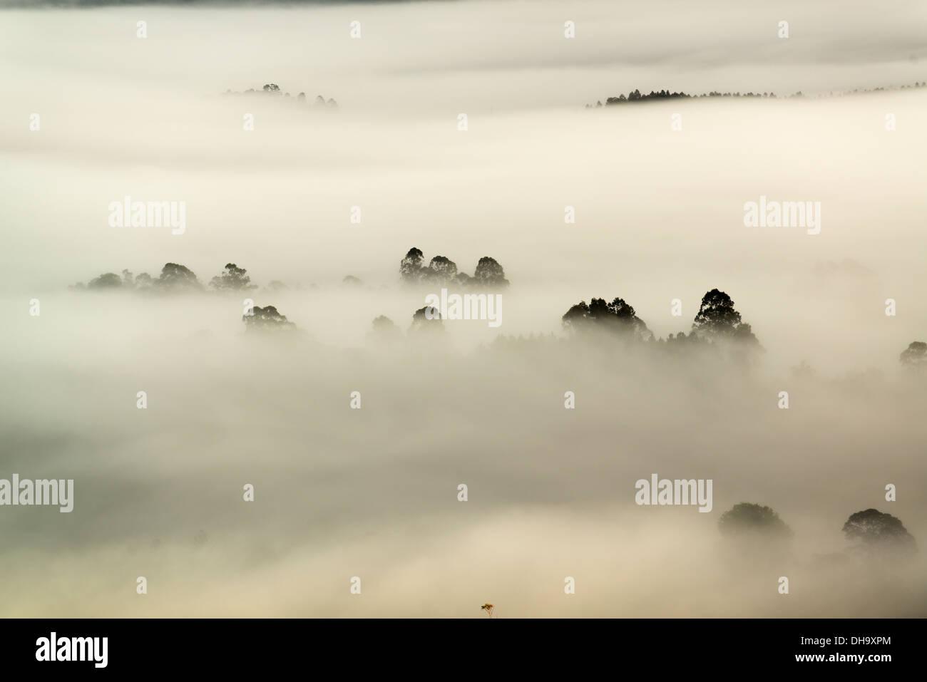 Baumkronen stechen Sie durch dichten Nebel im Tal Nimbin. Stockbild