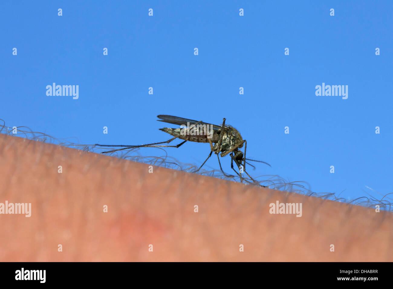 mosquito stockfotos mosquito bilder alamy. Black Bedroom Furniture Sets. Home Design Ideas