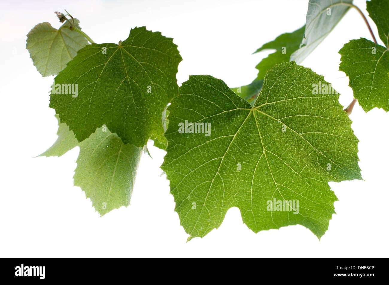 Weinblätter isoliert Stock Foto Stockbild