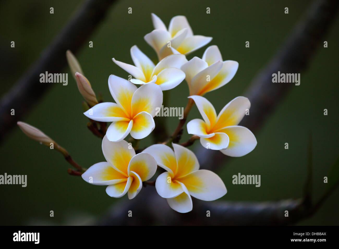 Porträt Blumen Brotfrucht Stockbild