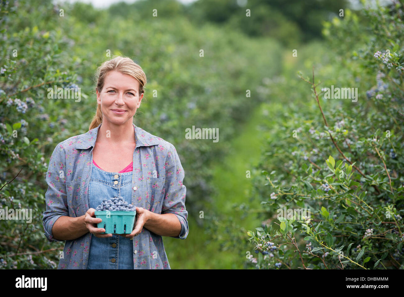Ein Bio-Obst-Bauernhof. Eine Frau, die Ernte der Beeren von den Sträuchern. Stockbild