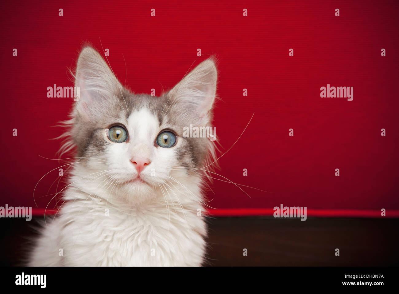 Ein Kätzchen mit Augen weit offen in die Kamera schaut. Stockbild