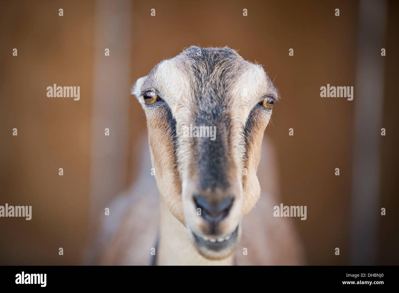 Eine Ziege, starrte durch die Gitterstäbe des Standes in einer Scheune. Stockbild