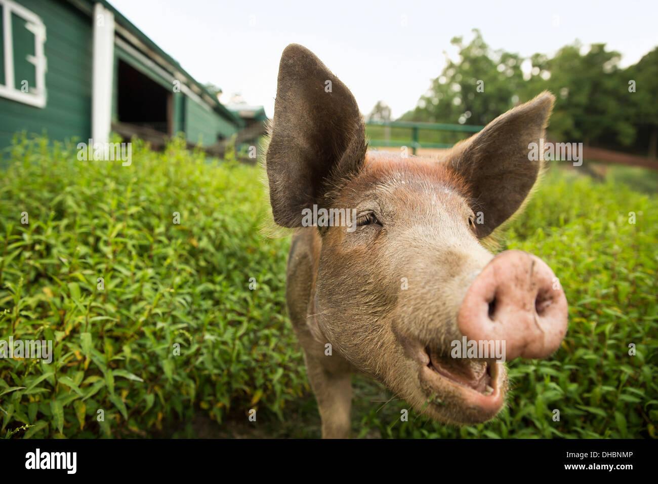 Ein Bio-Bauernhof in den Catskills. Ein Schwein. Stockbild