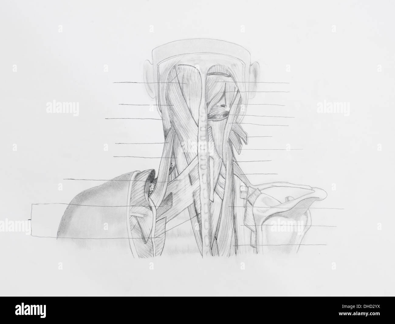 Head Muscle Drawing Stockfotos & Head Muscle Drawing Bilder - Alamy