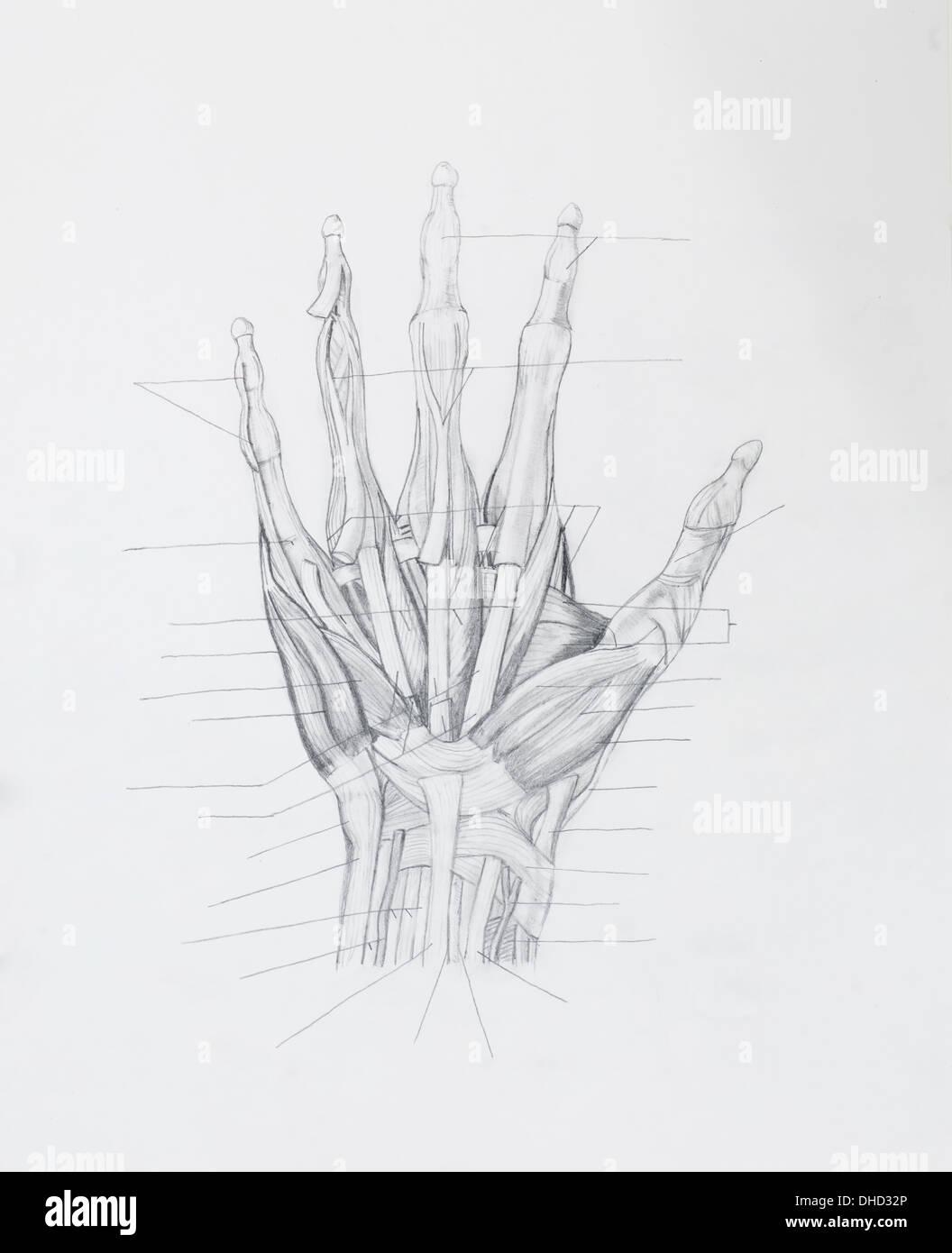 Detail von Hand Muskeln sehnen Bleistiftzeichnung auf weißem Papier ...