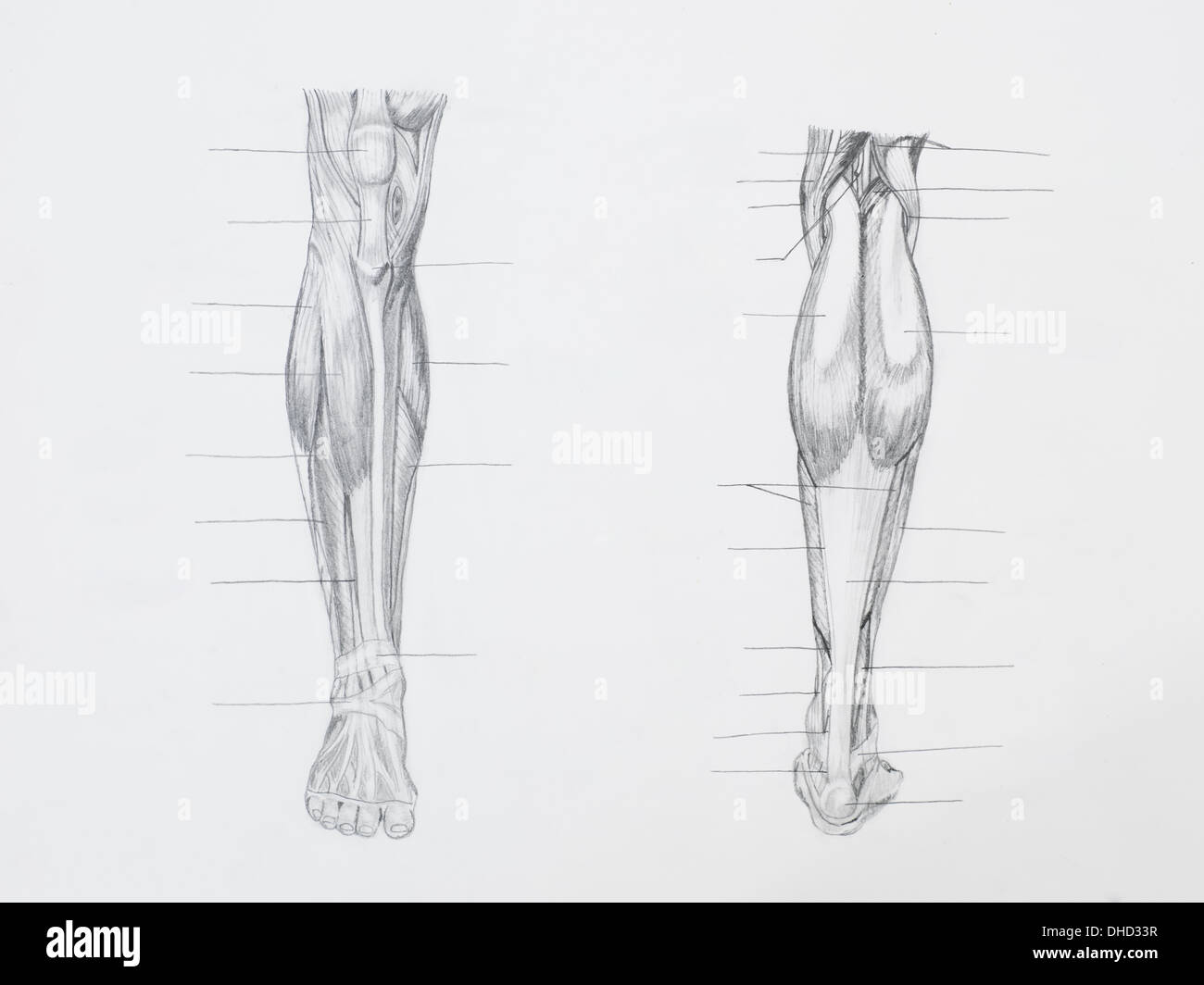 Human Muscle Foot Anatomy Stockfotos & Human Muscle Foot Anatomy ...