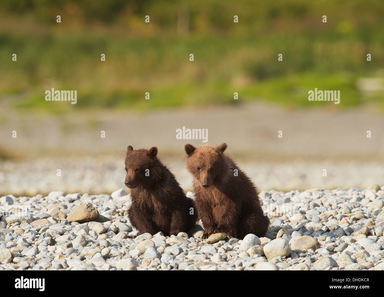 Brown Bear Cubs Standortwahl am Ufer des Mikfik Creek, Mcneil River State Game Sanctuary, Südwest-Alaska, Sommer Stockfoto