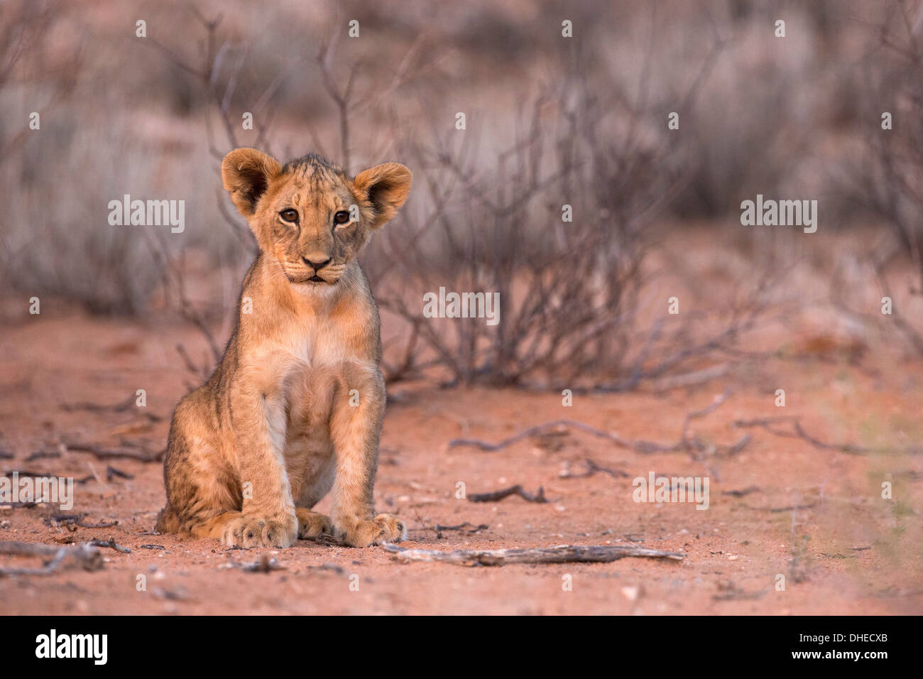 Löwenjunges (Panthera Leo), Kgalagadi Transfrontier Park, Südafrika, Afrika Stockbild
