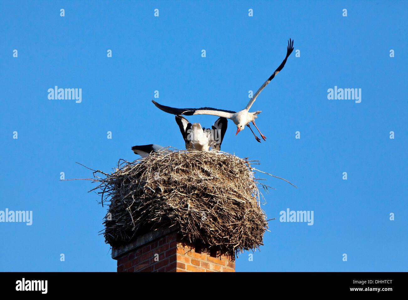 Familie Storchennest auf einem Schornstein, Züchtung, Vögel Stockbild