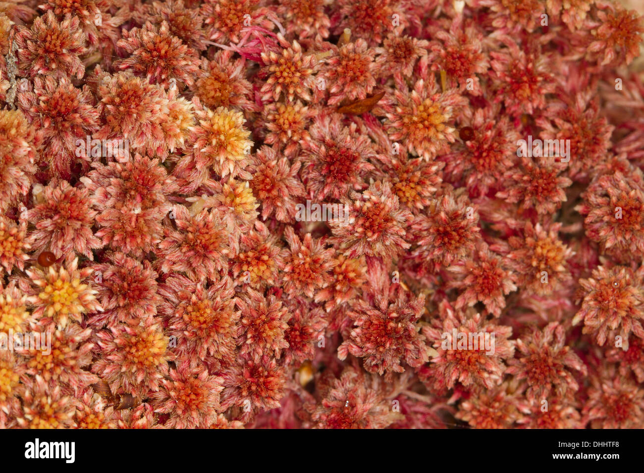 sphagnum capillifolium rote moor moss stockfoto bild 62472684 alamy. Black Bedroom Furniture Sets. Home Design Ideas